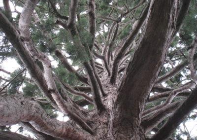 Sequoidendron Kew gardens